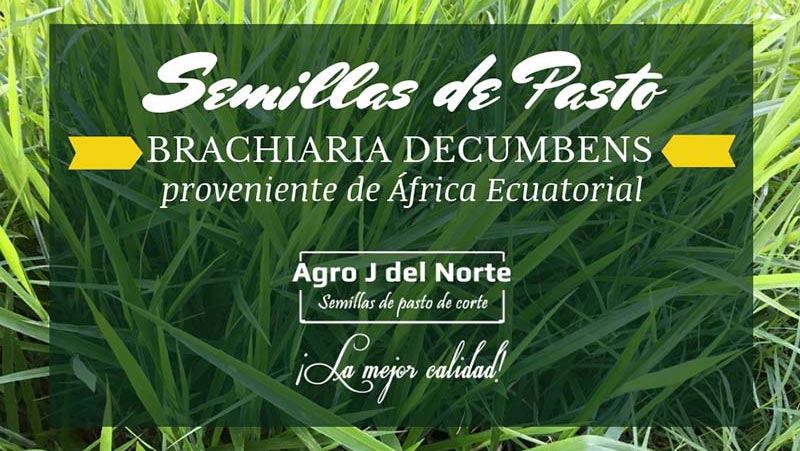 Semilla de Pasto Brachiaria Decumbens