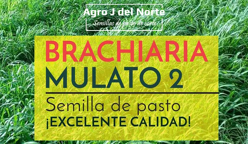 Agro j del norte Brachiaria Mulato 2