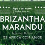 Brizantha Marandu