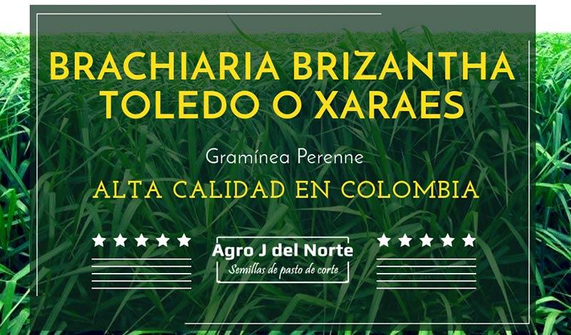 Agro j del norte Brachiaria Brizantha Toledo o Xaraes