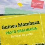 Pasto Brachiaria Guinea Mombaza