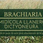 Brachiaria dictyoneura o llanero