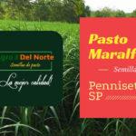 Pasto Maralfalfa forraje de alta calidad y óptimos resultados