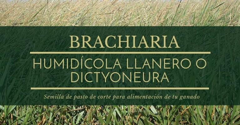 Semilla de pasto Brachiaria Humidícola Llanero o dictyoneura Agro j del norte