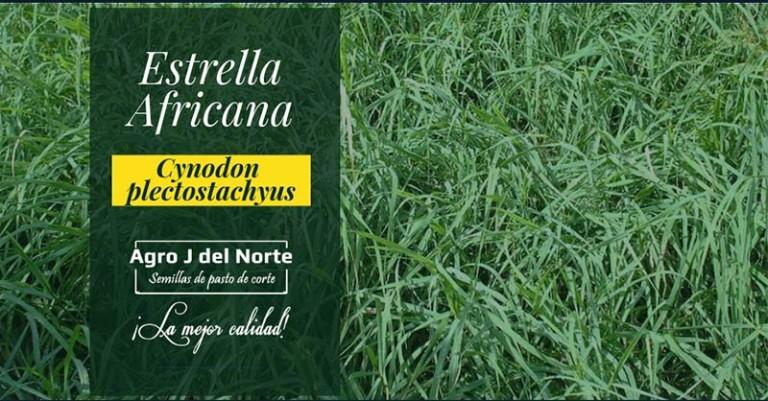 Semillas de Pasto Estrella Africana Agro J Del Norte