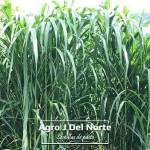 Pasto de corte Rodas Agro j del norte