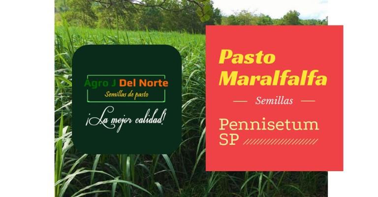 pasto-maralfalfa-agro-j-del-norte-semillas