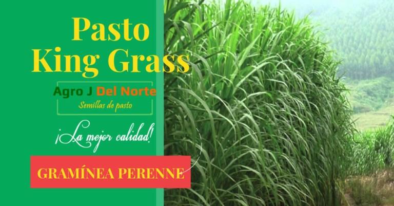 pasto-King-Grass-agro-j-del-norte-semillas-de-pasto
